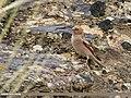 Mongolian Finch (Bucanetes mongolicus) (31021995777).jpg