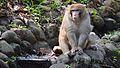 Monkey sitting in Trivandrum zoo.jpg
