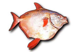 Opah - Lampris guttatus