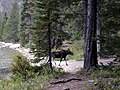 Moose at Phelps Lake, Grand Teton National Park - panoramio.jpg