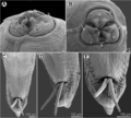 Moravec & Justine - Euterranova n. gen. and Neoterranova n. gen - parasite200141-fig6.png