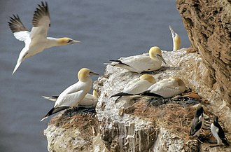 Northern gannet - Northern gannet breeding pairs