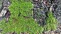 Moss on pine tree 6.jpg