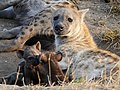 Mother Hyaena with Cubs (43841728235).jpg