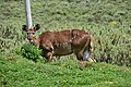 Mountain nyala, Bale Mountains National Park (9) (29214325371).jpg