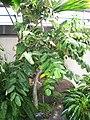 Munroidendron racemosum (Washington DC).jpg