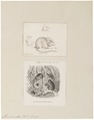 Mus minutus - 1700-1880 - Print - Iconographia Zoologica - Special Collections University of Amsterdam - UBA01 IZ20500095.tif