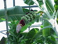 Musa acuminata1.jpg