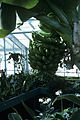 Musa nana fruit WPC.jpg