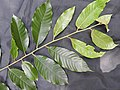 Myristica malabarica-3-mundanthurai-tirunelveli-India.jpg