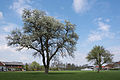 NDOÖ 596 Marchtrenk Birnbaum-3.jpg