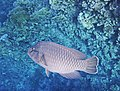 Napoleon-Lippfisch (Cheilinus undulatus)..DSCF4773ОВ.jpg