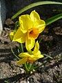 Narcissus 'Martinette'.jpg