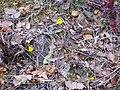 Narcissus bulbocodium Habitat 2011-2-27 FuenteAlmirez SierraMadrona.jpg