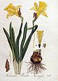 Narcissus pseudo-narcissus — Flora Batava — Volume v4.jpg