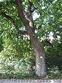 Naturdenkmal Stieleiche in Tulln 07.JPG