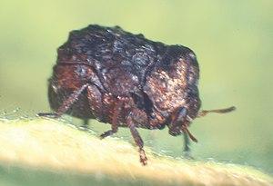 Neochlamisus - Adult Neochlamisus bebbianae on the host plant Salix bebbiana