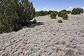 Near Ft. Stanton - Flickr - aspidoscelis (8).jpg