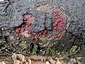 Nectria cinnabarina 98530708.jpg