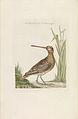 Nederlandsche vogelen (KB) - Gallinago gallinago (233pl).jpg
