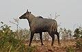 Neelgai Boselaphus tragocamelus by Dr. Raju Kasambe DSCN7833 (6).jpg