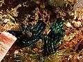 Nembrotha kubaryana (Nudibranchs) hermaphroditic mating.jpg