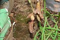 Nepenthes 'Miranda' (46).jpg