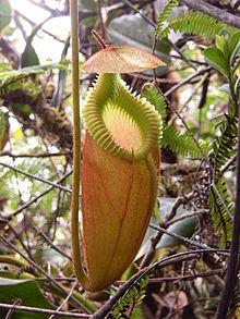 Nepenthes Villosa Wikipedia