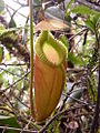 Nepenthes villosa 234.jpg