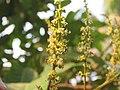 Nephelium lappaceum Rambutan at Thattekkadu (1).jpg