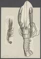 Nephrops norvegicus - - Print - Iconographia Zoologica - Special Collections University of Amsterdam - UBAINV0274 097 03 0002.tif