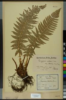 Neuchâtel Herbarium - Polystichum lobatum - NEU000001243.tif