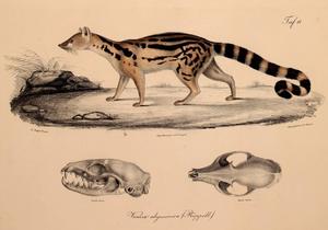Abyssinian genet - Image: Neue Wirbelthiere zu der Fauna von Abyssinien gehörig (1835) Genetta abyssinica