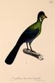 Neue Wirbelthiere zu der Fauna von Abyssinien gehörig (1835) Tauraco leucotis.png