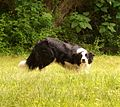 New Zealand Border Collie.jpg