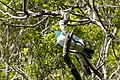 New Zealand Wood Pigeons (34796529765).jpg