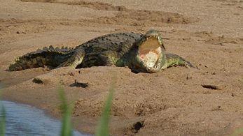 adult eat kill rhinoceroses and Crocodiles