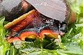 Norris's Top Snail - Norrisia norrisii (41653829380).jpg