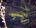 Northern Leopard Frog (14168580015).jpg