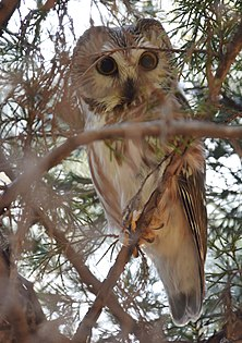 Northern Saw-whet Owl (31929423295).jpg