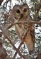 Northern Saw-whet Owl (31929423295).jpg