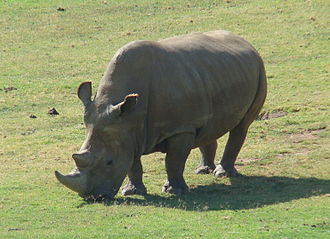 Angalifu, a male northern white rhinoceros at the San Diego Zoo Safari Park (died December 2014). Sudan, the last male of the subspecies died on March 19, 2018. Northern White Rhinoceros Angalifu.jpg