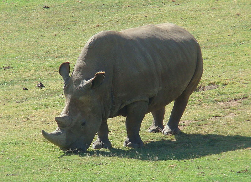 800px-Northern_White_Rhinoceros_Angalifu