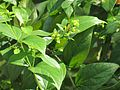 Nyctanthes arbor-tristis (Night jasmine) leaves in RDA, Bogra 02.jpg