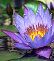 Nymphaea cultivar flowering, Sanya city in Hainan island.jpg