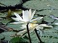 Nymphaea pubescens (9149798135).jpg