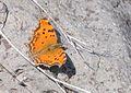 Nymphalis egea - Eastern Comma butterfly 1.jpg