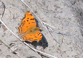 Nymphalis egea - Eastern Comma butterfly 1.jpg