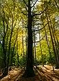 Oak tree in Autumn (37537204052).jpg