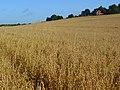 Oats, Boxford - geograph.org.uk - 928064.jpg